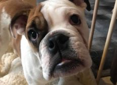 Amputation für Bulldoggenwelpen Olaf