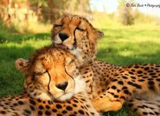 Help us to keep our two lovely cheetahs