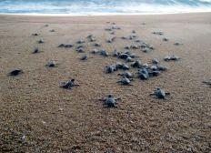 Protection des tortues marines en Malaisie