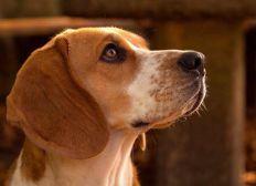 Beagle sucht Sofa - Hilfskonto