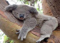 Les koalas de romain