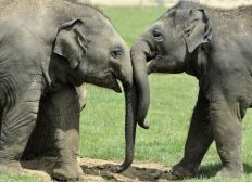 STAE (Save The Asian Elephants)