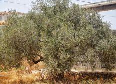 Plantez un olivier en Palestine