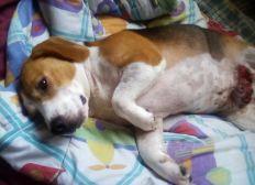 Cirugia para Bonni - Adenocarcinoma canino