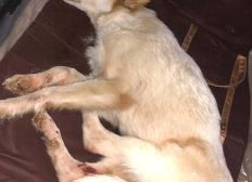 ALERTE ! Chienne renversée en Corse 1.800€ de facture vétérinaire