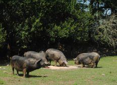 Protéger les porcs de Pouloupry contre la peste porcine