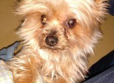 Operación para Cuqui, Yorksie Terrier de 9 años