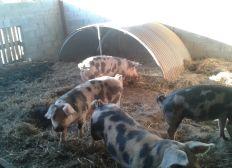 produire et manger mieux! devenir producteur de porcs bio quand on a plus de 40 ans...?