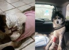 Deux Husky grièvement blessés par un sanglier