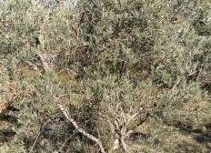 Réhabilitation oliveraie