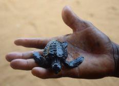Soutien pour la sauvegarde des tortues marines et le développement des écloseries d'Avlo et d'Ollongo au Bénin
