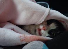 cagnotte pour la petite chatte noire et blanche accidentée