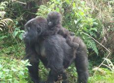 Sauvegarde et suivi des gorilles