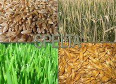 Spelt grass extract against cancer and leukemia