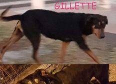 Soins et stérilisation de Gillette - la Chienne de Gillot