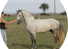Soignons le cheval Sueno du Harper ! Plante toxique Porcelle