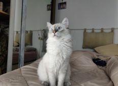 PÉPINOT the siberian cat