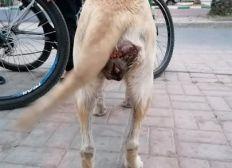 extreme urgence pour cette chienne qui a un cancer