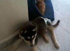 Urgent soins pour jeune Husky à Fès  Maroc