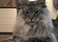 Sauvez notre chat Phénix atteint de la PIF
