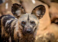 Tierärzte helfen afrikanischen Wildhunden