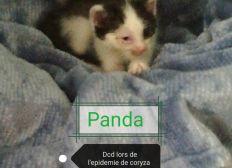 soins épidémie coryza sur chatons