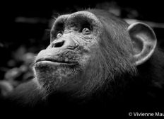 Participation à la préservation des chimpanzés au Cameroun avec association Papaye France