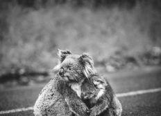 Pour les Koalas touchés par les feux en Australie