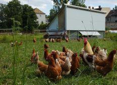 Participer à la création d'un poulailler mobile de poule pondeuse Bio !!!