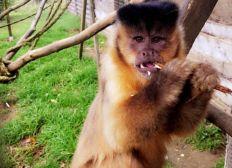 Un nouveau lieu de vie pour nos singes capucins