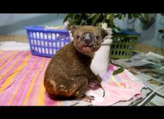 Safe The Koalas