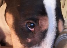 Hilfe für Bullterrier in Ungarn