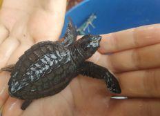 Sauvons les bébés tortues