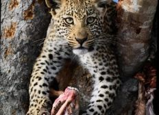 The Persistent Leopard And Her Kills
