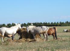 Du foin pour les vieux chevaux