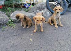 3 petits mâles st pierre