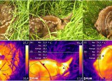Rehkitzrettung mit Wärmebildkamera-Drohne im Landkreis Cuxhaven