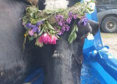 Aqua Cow Rise System zur Unterstützung der Lebenshöfe und Landwirte