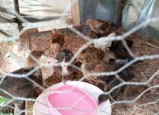 Entreprenariat élevage Bio de poulets toutes races