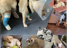 Op für Labrador Bella