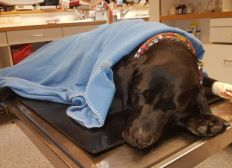 Therapiehund Amy benötigt Hilfe