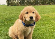 Aidez-nous à acheter 3 chiots, futurs chiens-guides d'aveugle