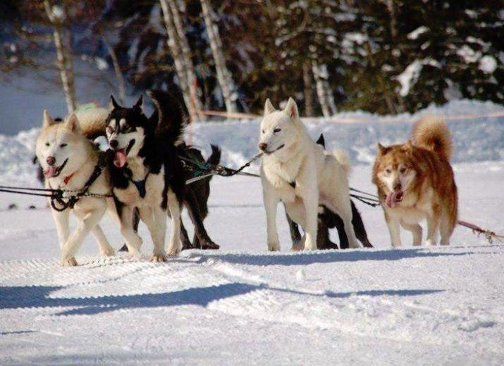 Sauvetage des chiens de traineaux Nordic Aventures