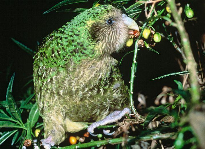 Geeks for Kakapo, name a chick Douglas