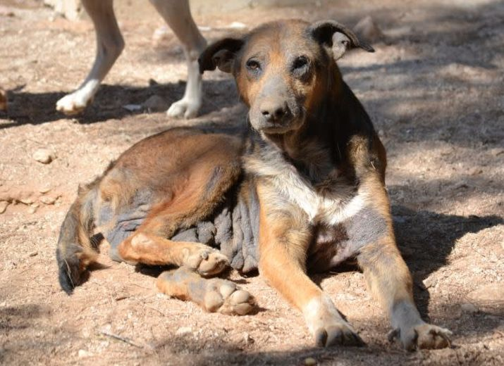Operations- und Tierarztkosten für verletzte Straßenhunde in Griechenland