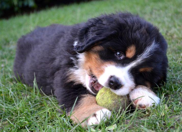 Cagnotte b b chien bouvier bernois - Image bebe chien ...