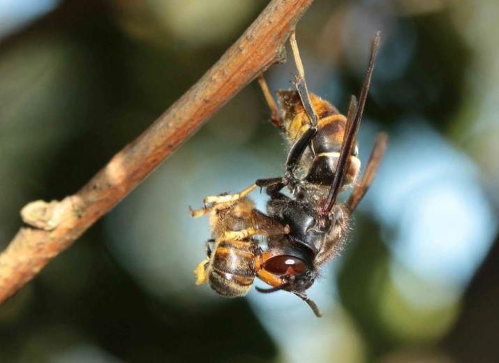 Luttons contre le frelon asiatique pour sauver les abeilles