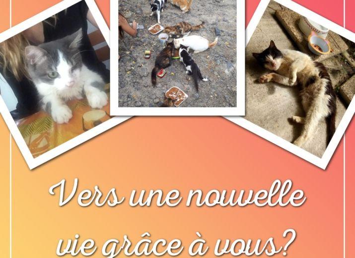 Sauvons ensemble les chats d'Anse Moustique (Sainte Anne) et aidez-nous à financer la seconde chirurgie de Grizzly!