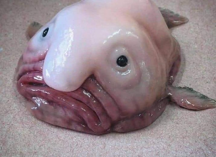 Cagnotte : Un blob fish heureux - Leetchi.com