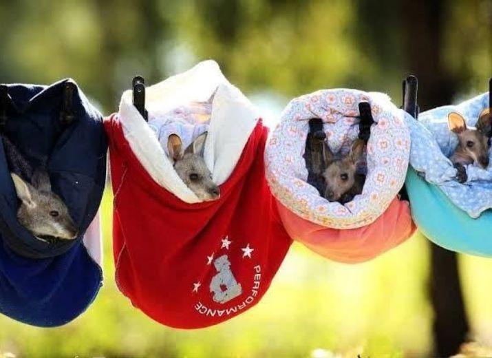Le Parc Australien : Aide au financement du transport vers l'Australie des Poches pour Kangourous rescapés des feux